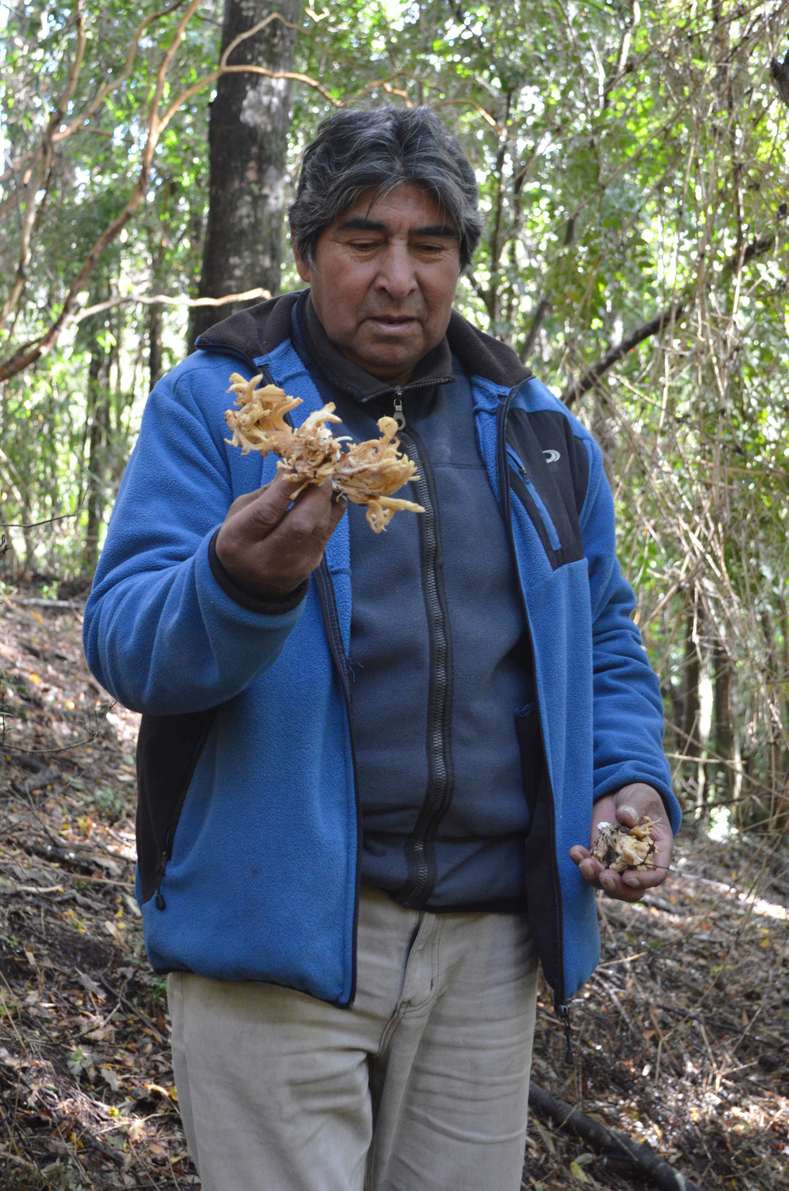 "Don Mauricio explains the best way to harvest ""changles"", an edible wild mushroom, in a way so as to not damage them ensuring they grow back year after year.  Changles are native to southern Chile and grow under the native forest canopy on the forest floor. They are harvested for food and are an important Non-Timber Forest Product. NTFPs play a central role in the economy and livelihoods of local-Indigenous communities."