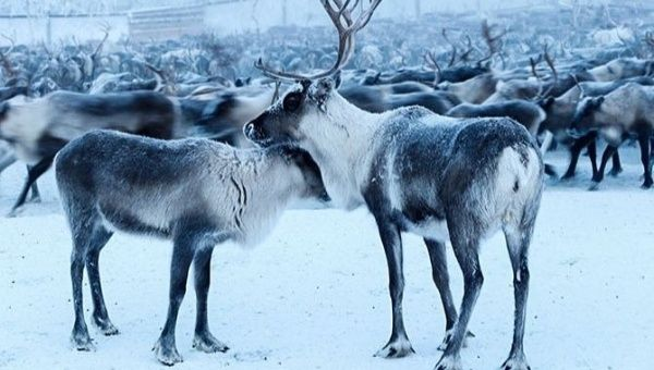 RIP Rudolph: Norwegian Court Orders Mass Reindeer Execution