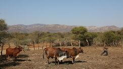 A villager tends to his cattle in Moruleng, a small mining community in Rustenburg, South Africa, August 2018.