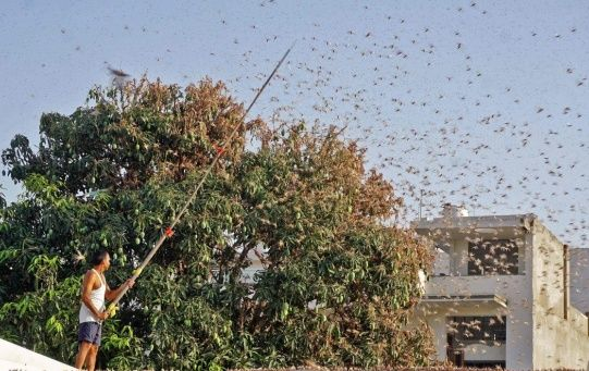 The locusts have already destroyed nearly 50,000 hectares (125,000 acres) of cropland.